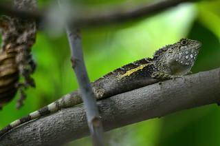 Swinhoe's japalure or tree lizard male (Taiwan)