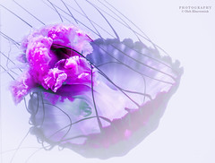 Ink Painting. Jellyfish Hypnosis 2.0 (Oleh Khavroniuk (Khavronyuk)) Tags: nikon nikkor canada ontario toronto ripley jellyfish ink white pink underwater aquarium aquatic hypnosis art photoart geotagged sea light fishtank flickr nature naturaleza 365 digital exposure dof depthoffield new macro blur