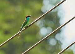 BOR_9738 (lucvanderbiest) Tags: bluethroathedbeeeater maleisebijeneter borneo maleisië sabah sepilok orangoetangrehabilitationcenter