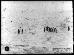 Penguins (Australian National Maritime Museum on The Commons) Tags: australiannationalmaritimemuseum thegreatwhitesouth herbertponting ice snow seals birds sled expedition britishnationalantarcticexpedition robertscott southpole tallship terranova orca killerwhale 1910s 1913 lanternslide