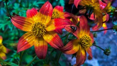 Du soleil sous la pluie... Some sun under the rain.... (Isa****) Tags: fleurs flowers insecte insect couleurs colors macro pluie rain 7dwf