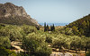 Leonidi (Robert Anders) Tags: ccby canonef85mmf12liiusm canoneos6d creativecommons cypress eos6d greece griechenland leonidi oliven olives peleponnes peleponnese sommer summer urlaub2017 zypressen λεωνίδι gr