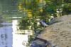 pond heron (arcibald) Tags: pondheron bangkok thailand rotfai park chatuchak