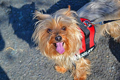 Poppy (conormatthews) Tags: poppy dog puppy walks happy panting glee tongue out summer may sun sunshine walking pet