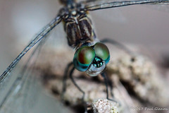 My, what big compound eyes you have! (Glotzsee) Tags: nature florida indianrivercounty fellsmere tmgoodwinwaterfowlmanagementarea tmgoodwin stickmarsh macro outdoors outside insects insect dragonfly glotzsee glotzseefloridaimages compoundeye