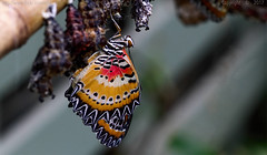 Emerged (Ollie_57.. on/off) Tags: butterfly insect fauna nature pattern macro dof tamronsp90mm canon 7d may spring 2017 butterflyfarm buckfastleigh westcountry devon england uk affinityphoto ollie57 cethosiacyane redlacewing ngc saariysqualitypictures npc