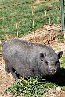 One Little Piggy..