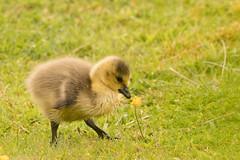 Canada Goose Gosling (Branta canadenis) (Baldyal) Tags: gosling canada goose bird wildlife venus pool shropshire