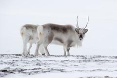 Svalbard Reindeer at Sassendalen S24A8621 (grebberg) Tags: snowmobile tour longyearbyen mohnbukta spitsbergen svalbard april 2017 snow sassendalen rangifertarandusplatyrhynchus rangifer rangifertarandus reindeer mammal svalbardreindeer