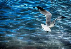 De pesca (candi...) Tags: gaviota pescando mar agua naturaleza nature volar ave sonya77 fauna