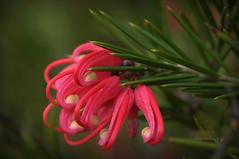 İğne Yapraklı Güzellik (Celalettin Güneş) Tags: flowers red spring color nature macro beautiful green garden rose closeup gül kamelya gelincik bahar