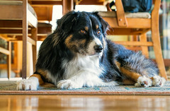 19/20 - Bad Hair Day (jayvan) Tags: dash aussie australianshepherd dog home afrofeet badhairday portland oregon 52wfd 52weeksfordogs sony