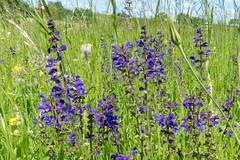 Wiesensalbei (Salvia pratensis) - 170521