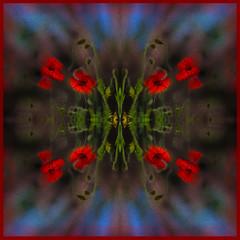Poppies (Shastajak) Tags: poppies mygarden photoshopcc layers blending filters mirroring sliderssunday hss
