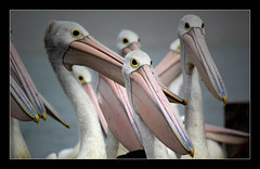 Stickybeaks (Seeing Things My Way...) Tags: pelican australianpelican birds beak feathers plumage eyes australianbirds