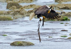 Somewhere there is a fish (r) (Blingsister-Melanie) Tags: americanbaldeagle baldeagle eagle pacific ocean eaglewithafish eagleinflight melanieleesonwildlifephotography blingsister canon canon7dmarkii canonef100400mmf4556lisiiusm14xiii