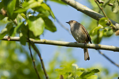 Heckenbraunelle (Prunella modularis) (kalakeli) Tags: heckenbraunelle prunellamodularis dunnock mai may 2017 rieselfelder münster rieselfeldermünster vögel birds spring frühling