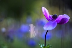 Anemone magic (Stefano Rugolo) Tags: pentax k5 colors bokeh smcpentaxm50mmf17 italy spring 2017 plant outdoor depthoffield anemone blossom purple magic blue green light fabriano appennini nature flowers meadow focus macro flower garden background marche anemonecoronaria stefanorugolo