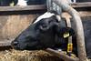 pawu039 (Otwarte Klatki) Tags: krowa krowy mleko zwierzęta cielak ferma andrzej skowron