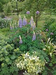 'Lupins-in-the-Border' (amanda.parker377) Tags: lupins lupinus papilionaceae flowerborder woburnabbeygardens may statelyhome alchemilla ladysmantle