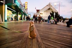 Laika on Ocean City Boardwalk   Maryland, USA (ynaka29) Tags: usa maryland oceancity boardwalk laika dog aussie toyaussie australianshepherd toyaustralianshepherd redmerle vacationspot vacation eastcoast