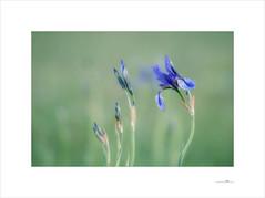 Lilien (E. Pardo) Tags: lilien lirios lilies flores flowers blumen colores colors farben primavera frühling spring wiese pradera meadow