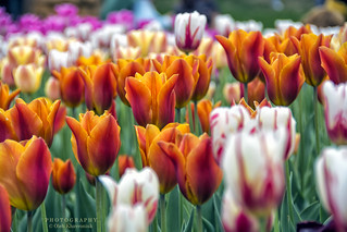 Canadian Tulips Festival 2017