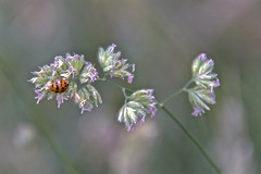 Ladybird (Nige H (Thanks for 10m views)) Tags: nature flower bug insect bokeh ladybird macro closeup detail
