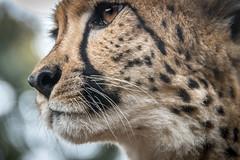 Far Away (helenehoffman) Tags: africa mammal baby sandiegozoo cheetah cubs animal animalambassador wildlife conservationstatusvulnerable babies acinonyxjubatus feline carnivore bigcat felidae nature coth coth5