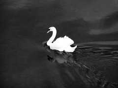 Dark water (François Tomasi) Tags: monochrome cygne oiseau bird eau water reflex nikon noiretblanc blackandwhite françoistomasi yahoo google flickr reflection cher touraine indreetloire villedetours tours france europe photo photographie photography photoshop lights light white black blanc noir filtre pointdevue pointofview pov animal wild sauvage nature dark sombre juin 2017