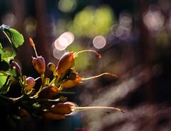 Atmosfere d'estate (Danilo Agnaioli) Tags: nature trioplan estate fiori bokeh