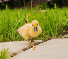 Baby Duck (fredc10) Tags: babyduck duck animals baby babyanimals nikond3300 nikondslr dslr d3300 nikon amature