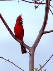 Northern Cardinal singing 20170422 (Kenneth Cole Schneider) Tags: florida miramar westmiramarwca