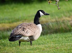Ganso-do-canadá / Canada goose (anacm.silva) Tags: canadagoose brantacanadensis gansodocanadá ganso goose ave bird wild wildlife nature natureza naturaleza birds aves scotland escócia uk lochearn stfillans