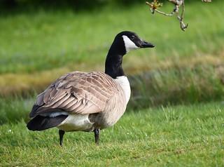 Ganso-do-canadá / Canada goose