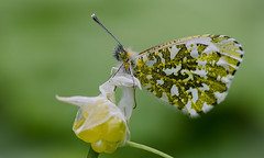 Female Orange Tip (Will Gell) Tags: orange tip butterfly beanston river tyne east lothian scotland insect flying nature nikon d7000 tamron 70300mm extension tubes will gell