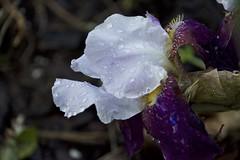 Iris after the rain (Pejasar) Tags: iris flower wet rain drops color blossom bloom garden tulsa oklahoma spring 2017