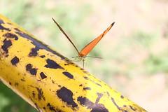 Borboleta bairro São João JM - Wir Caetano - 26 04 2017 (24) (dabliê texto imagem - Comunicação Visual e Jorn) Tags: borboleta inseto amarelo escada ferrugem