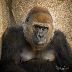 Imani (ToddLahman) Tags: imani westernlowlandgorilla gorilla closeup mammal outdoors portrait escondido sandiegozoosafaripark safaripark canon7dmkii canon canon100400 beautiful