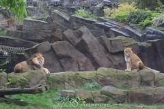 Afrikaanse leeuw - Panthera leo leo - African Lion (MrTDiddy) Tags: afrikaanse leeuw panthera leo african lion bigcat big cat grotekat grote kat feline zoogdier mammal nestor caitlin zooantwerpen zoo antwerpen antwerp