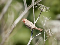 // le petit pinson (Riex) Tags: finch pinson bird oiseau animal twig fennel fenouil a900 amount minoltaamount maxxum af reflex 500mm f8 telephoto lens mirror catadioptric sal500f80 miroir optiqueamiroir