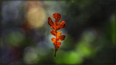 3407-  Oak Leaf in Suspension (canuckguyinadarkroom) Tags: oakleaf nature spiderweb beauty surprise