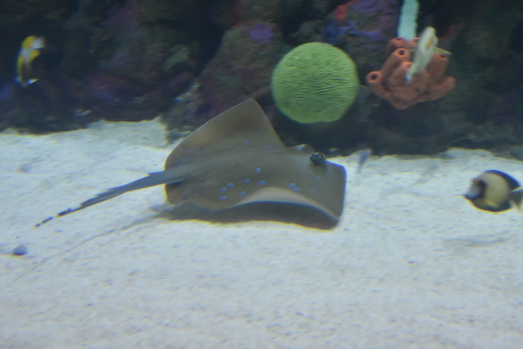The world 39 s best photos of aquarium and stingray flickr for Stingray fish tank