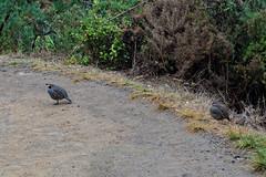 Przepiór kalifornijski | California Quail