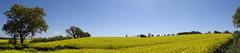 Oil seed rape / canola fields {explored 4th May 2017} (Deirdre Snook) Tags: oilseedrape oil seed yellow canola sharopshire