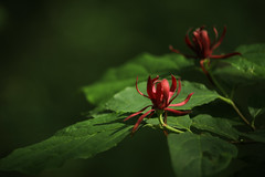 Light-show in the woods (Irina1010_OFF) Tags: flower red bush light bokeh colorful nature beautiful canon ngc npc