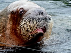 Odin (BrigitteE1) Tags: odin walross walrus odobenusrosmarus animals animal tierparkhagenbeck hamburg deutschland germany zoo robbenart sealspecies speciesofseal de rain specanimal