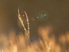 spider (abwaco68) Tags: digital zuiko zd 70300mm macro texas sunset grass yard spider arachnid