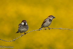 Gorrión Moruno - Spanish Sparrow (Passer hispaniolensis) (Corriplaya) Tags: birds corriplaya aves gorriónmoruno spanishsparrow passerhispaniolensis