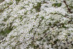 Tiny white flowers (Marta Panzeri) Tags: natura nature primavera spring fiore albero cespuglio bush tree flower white tiny little